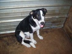 Scooter is an adoptable Border Collie Dog in Chipley, FL. Scooter looks like a big pup and he is. He is only about 3-4 months old and looks mostly border collie. He is very sweet, friendly and ready t...