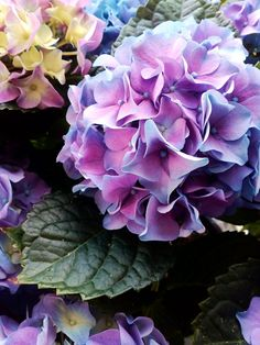 Again, hydrangea by Marilena Iordache - Photo 204655685 / Peonies And Hydrangeas, Hydrangea Not Blooming, Hydrangea Garden, Hydrangea Flower, Flower Images, Flower Pictures, Flower Art, Purple Flowers, Beautiful Flowers