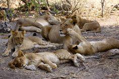 Lions, Chobe, Botswana by Richard Ainsworth