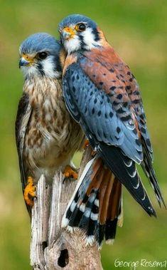 Faucon couple Jolis Oiseaux, Oiseaux De Proie, Oiseaux Exotiques, Beaux  Oiseaux, Animaux aaa4d6300ba