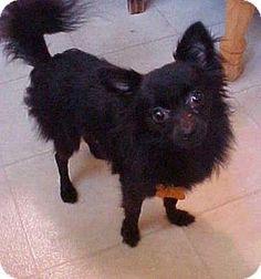 Dahlgren, VA - Chihuahua/Pomeranian Mix. Meet Smudge - 4 lbs, a dog for adoption. http://www.adoptapet.com/pet/16750083-dahlgren-virginia-chihuahua-mix