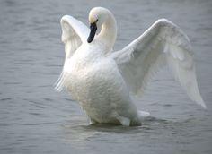 tundra swan | Tundra Swan ( Cygnuscolumbianus ) - Lake Mendota, Wisconsin