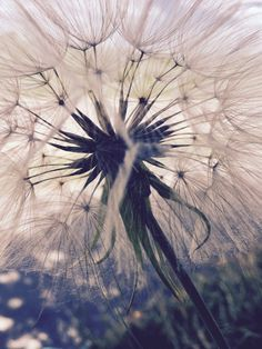 Found this huge dandelion on a Sunday walk and couldn't resist.
