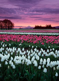 Lord Of The Tulips by Henrik Anker Bjerregaard  Lundh III on 500px