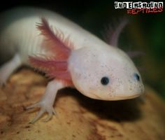 Leucistic Axolotl For Sale