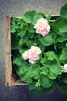 beautiful pale pink geranium