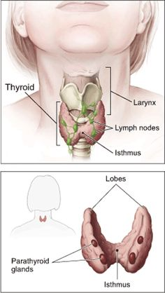 The pictures show the front and back of the thyroid.
