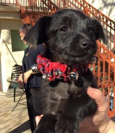 Lucas is an adoptable Terrier searching for a forever family near Boerne, TX. Use Petfinder to find adoptable pets in your area.