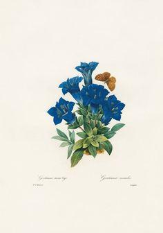 Pierre-Joseph Redouté flower drawings