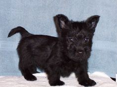 scottish terriers<3