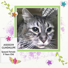 NYC TO BE DESTROYED 05/12/15 **Sweet 9 Year Old Stray** GUADALUPEtolerates attention and petting but may be fearful in the shelter, and may be intimidated by small children. Due to the behaviors seen in the care center, we feel that this cat will do best in a calm, quiet home with experienced cat parents & without children. . ID # A1035319. Spayed female tortie  https://www.facebook.com/nycurgentcats/photos/a.1003490999668887.1073742684.220724831278845/1003491189668868/?type=3&theater