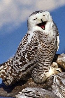 Photographer Tin Man Lee fell from a tree to getting the best shot – but this snowy owl appears to find it hilarious