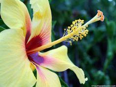 hawaii images | Beautiful Yellow Hibiscus in Hawaii