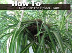 How To Care For The Spider Plant - Chlorophytum