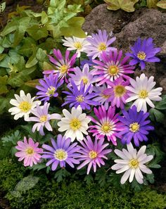 Mar-apr partial shade Buy wood anemone bulbs Anemone blanda 'Mixed': Delivery by Crocus.co.uk