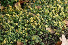 Thymus citriodorus 'Doone Valley' (Tijm, Geelbladige Citroentijm, Keukentijm) | Tuinwinkel.nl