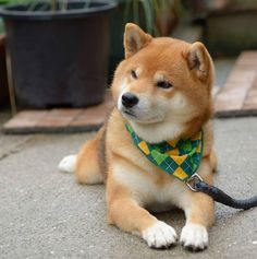 Ryuji, the handsome Shiba Inu from Japan is wondering what kind of fun he is going to have today