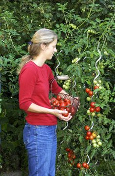 10 tips for growing tomatoes / 10 Tipps für den Anbau von Tomaten juicy tomatoes Growing vegetables in a pot: The 10 best varieties for dProfessional tips for gardeningGood books about growing things Container Gardening Vegetables, Planting Vegetables, Growing Vegetables, Planting Succulents, Tomato Trellis, Cucumber Trellis, Garden Trellis, Garden Care, Container Flowers