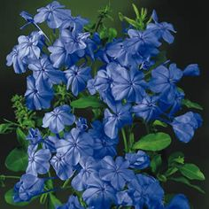 Plumbago auriculata 'Royal Cape'  Is a fast growing shrub bearing trusses of deep blue flowers during spring-autumn. It can be used as a hedge or shrub, or espaliered against a wall. It will even climb through other plants, so it makes the perfect gap filler.&n... Blue Flowers, Hardscape, Plants, Shrubs, Flowers, Growing Shrubs, Perennials, Blue Plumbago, Garden