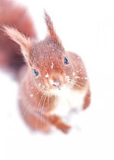 Eurasian red squirrel Ecureuil roux dans la neige Plus Nature Animals, Animals And Pets, Wild Animals, Beautiful Creatures, Animals Beautiful, Animals Amazing, Cute Baby Animals, Funny Animals, Animals Tattoo