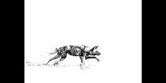 Graphic black and white fine art print of an African wilddog stalking through water, Okavango delta, Botswana