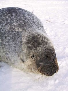 Ringed seal Facts for Kids Evolution, Harbor Seal, Facts For Kids, Ring Doorbell, Mundo Animal, Like Animals, Biomes, Dolphins, Mammals