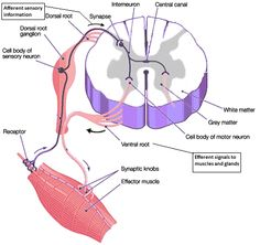 spinal cord cross-section labeled study guide