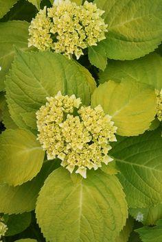 Mophead Hydrangea for sale buy Hydrangea macrophylla 'Lemon Daddy' PP17,660