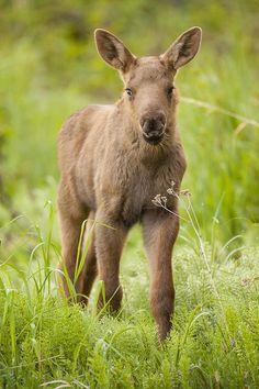 ~~Cute Moose Calf by Tim Grams~~