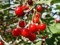 višeň obecná-Prunus cerasus čeleď-růžovitých