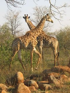 Giraffes in Kruger National Park, South Africa. Kruger National Park, African Animals, African Safari, Lonely Planet, Out Of Africa, Game Reserve, Jolie Photo, Fauna, Africa Travel