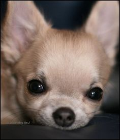 Chihuahuas- are they truly the sweet little lap dogs with loads of personality or is there a society of Geniuses that are determined to conquer the Universe???? #Chihuahua
