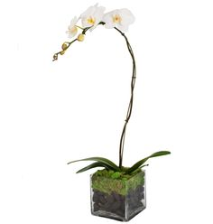 White Phalaenopsis Orchid and Moss Garden