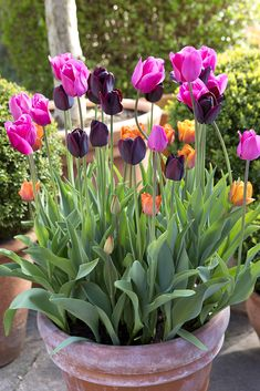 Potted spring bulbs: ♥♥  Try this vibrant combination of contrasting tulips, 'Cafe Noir', 'Don Quichotte' and 'Cairo'. See our five favourite tulip combinations at http://www.gardenersworld.com/plants/features/flowers/five-stunning-tulip-combinations/5073.html Photo by Sarah Cuttle.