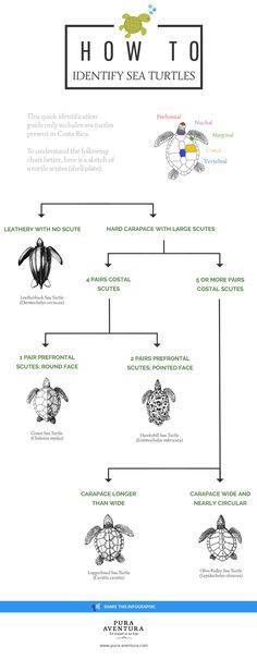 How to identify sea turtles #wildlife
