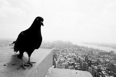 Bird's Eye View, New York City, NY, 2007 by Ashley Shin  New York birds unabashedly welcome tourists on top of the Empire State Building.