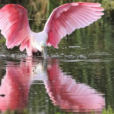 Port Aransas, Texas // Roseate spoonbill captured with a