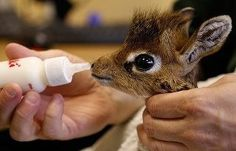 Baby giraffe is the cutest thing ever!
