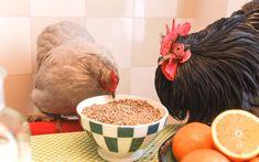 Vous voulez avoir de bons et beaux œufs ? Une règle d'or : bien nourrir vos poules ! En effet l'alimentation est le premier critère de ponte !