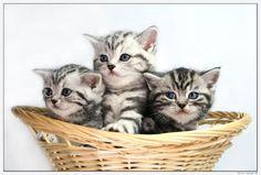 Träume in Marmor!Britisch Kurzhaar Babys silver-tabby und golden-tabby