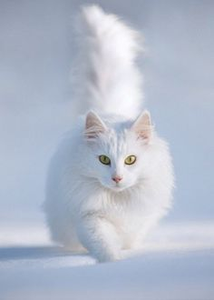 white cat. Looks like a artic fox almost