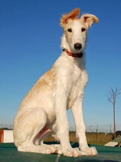 Young Borzoi saw one of these for the first time the other day and they are super cute