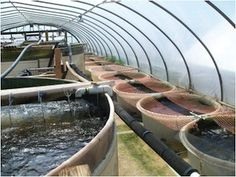 Article:   In Aquaponics, Texas Cattle Ranchers Find Solution to Drought and Time. Cattle farming is just about as far apart from aquaponics as you can get, but for one family in Devine, TX, the switch from one to the other was the logical choice. Pictured: The tilapia greenhouse with separate containers for different fish maturity levels.