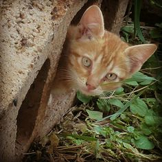 Ginger - the new kitten found living in a 'concrete block' at the back of our house - April 2017 by Michel Eamon