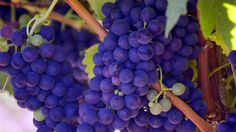 Best Napa Wine Tasting Experience – Things you need to know to enhance your getaway Napa Wine Tasting, Cure, Wine Tasting Experience, Wine Reviews, Growing Grapes, Fruit Of The Spirit, Best Fruits, Pinot Noir, Coconut Oil