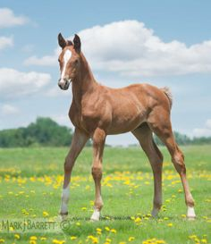 Hanovarian horse foal
