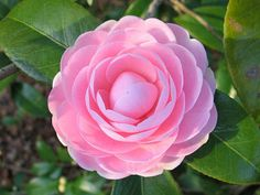Formal double small sizeShell PinkEarly seasonUpright growthJaponicas typically begin blooming as early as November through April, depending on the variety. Large glossy leaves with dense upright, rounded, or pyramidal shrubs or small trees - up to 6-15ft x 5-7ft. Partial and dappled shade is best.PICKUP SALES ONLY - Camellias will be available for pickup from the Market Place on Saturday, November 21st from 9am to 12 noon. Member discount at checkout with code.  10% sales tax included in…
