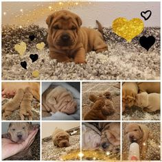 Momo's puppies. Two weeks old 😍😍🐶 Shar Pei, Dog Food Recipes, Chinese, Puppies, Pets, Cubs, Dog Recipes, Pup, Newborn Puppies