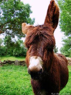 burro mirandês - Pesquisa Google