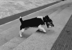 Jack Russell Terrier Amuses Himself.. .